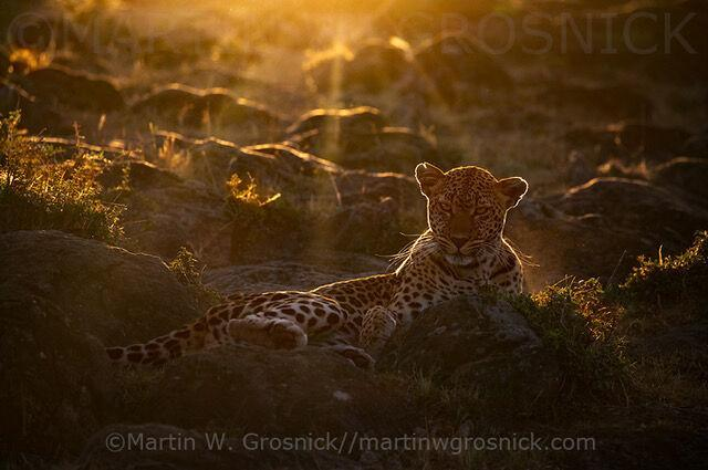 Winning photo of a leopard outlined by a sunrise backdrop