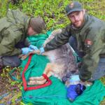 Austin Homkes, left, draws blood from a wolf's leg while Tom Gable assists
